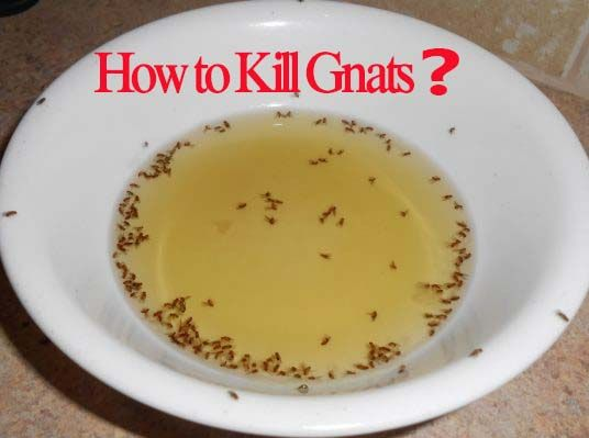 How To Kill Gnats Diy Gnat Trap Recipe Effective Home Remedies To