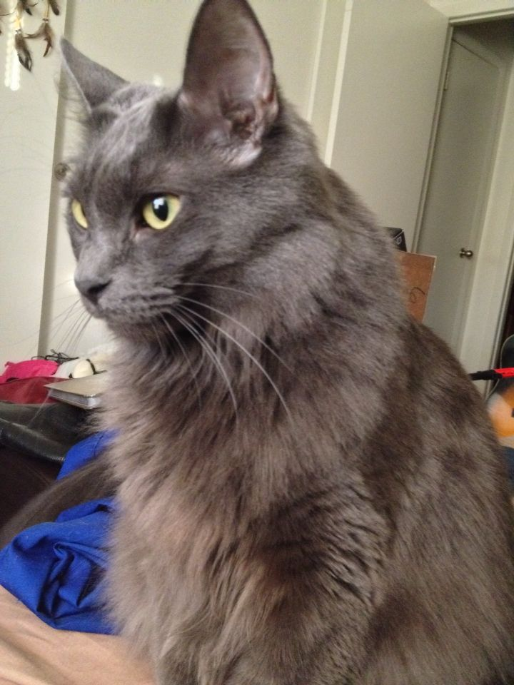 Revere The Nebelung Long Haired Russian Blue Shadow Look A