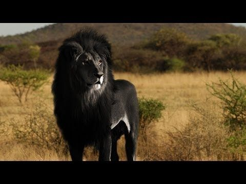 The Black Lion Hoax Not Real As Of 2013 Melanistic Animals Albino Animals Black Lion