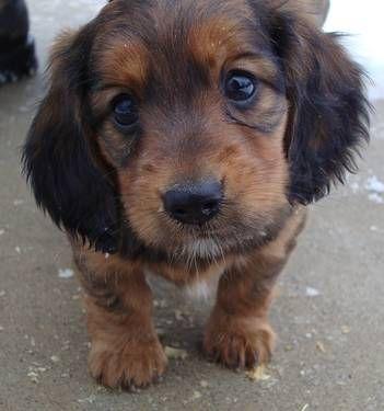 Mini Dachshund Puppy Dachshund Puppy Dachshund Mini Dachshund