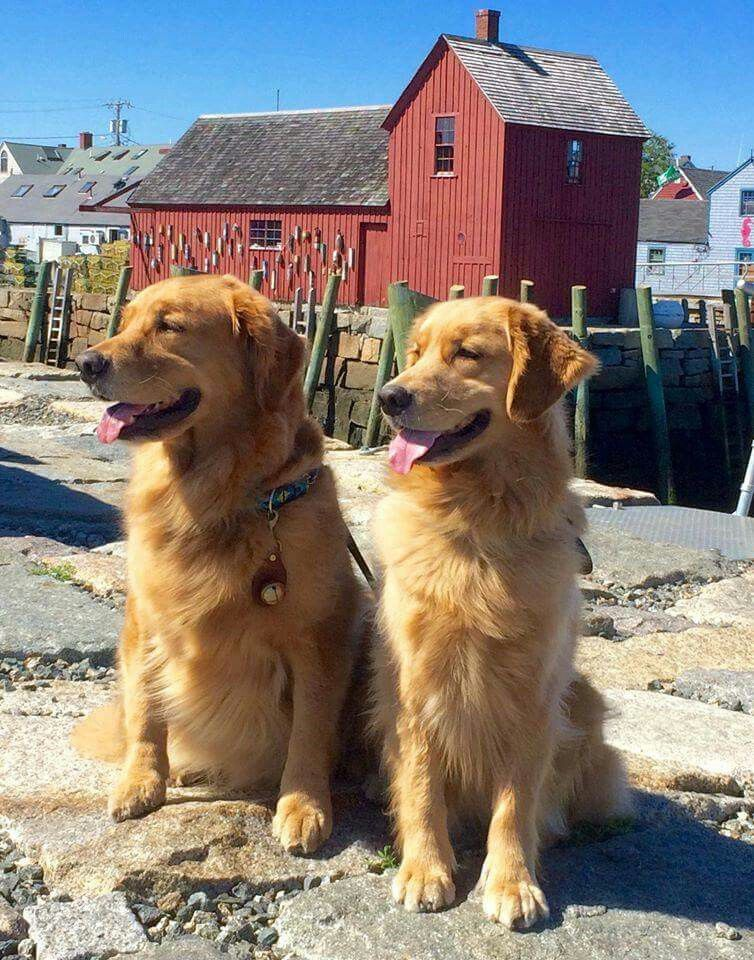 Double Trouble Golden Retriever Dogs Golden Retriever Dogs