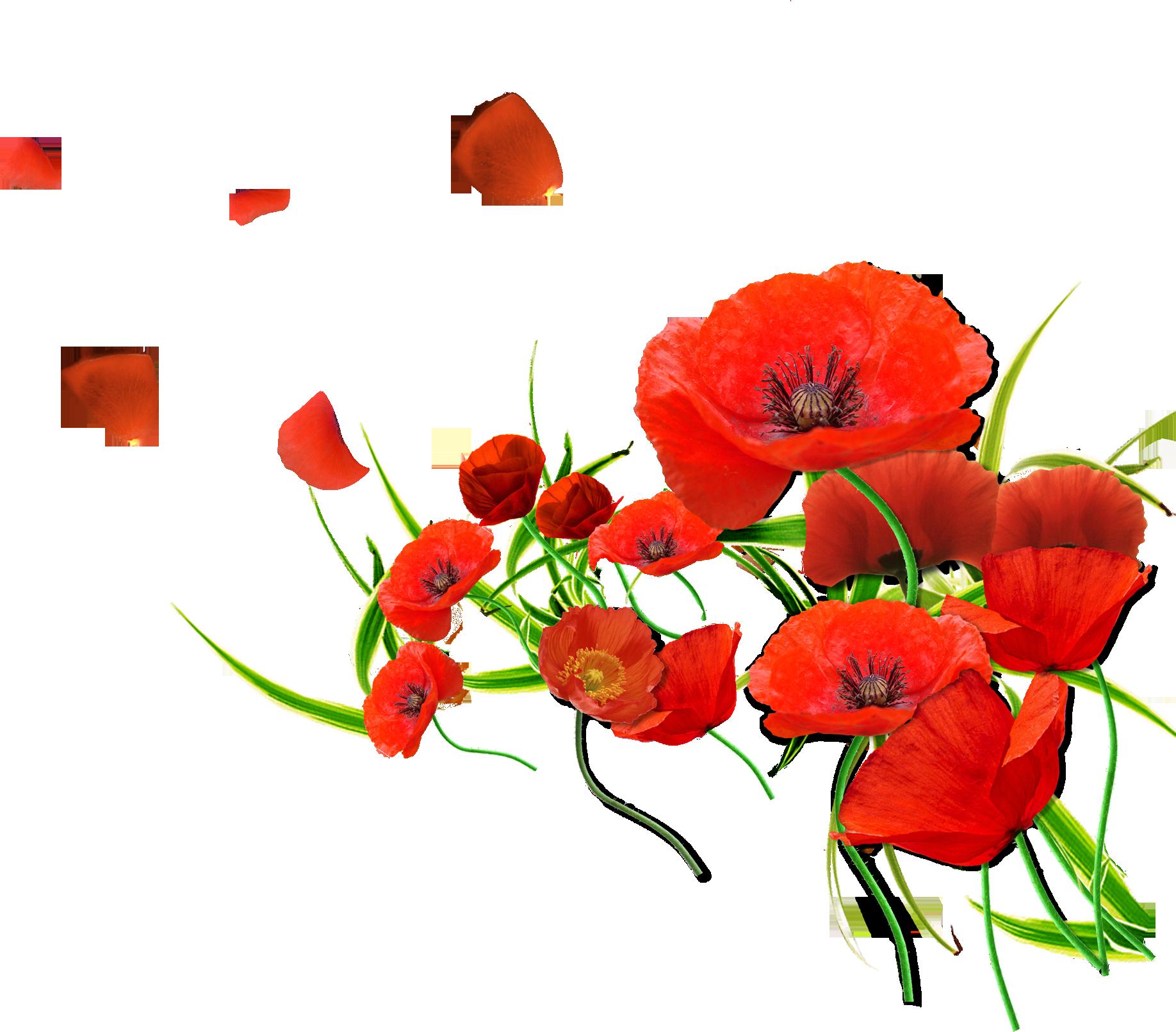 image coquelicot rouge - Recherche Google | Coquelicots, Fleur de ...