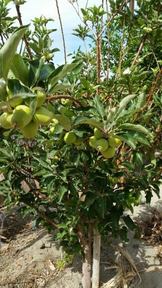 Apple Tree (Arbol de Manzana).One apple a day keep the