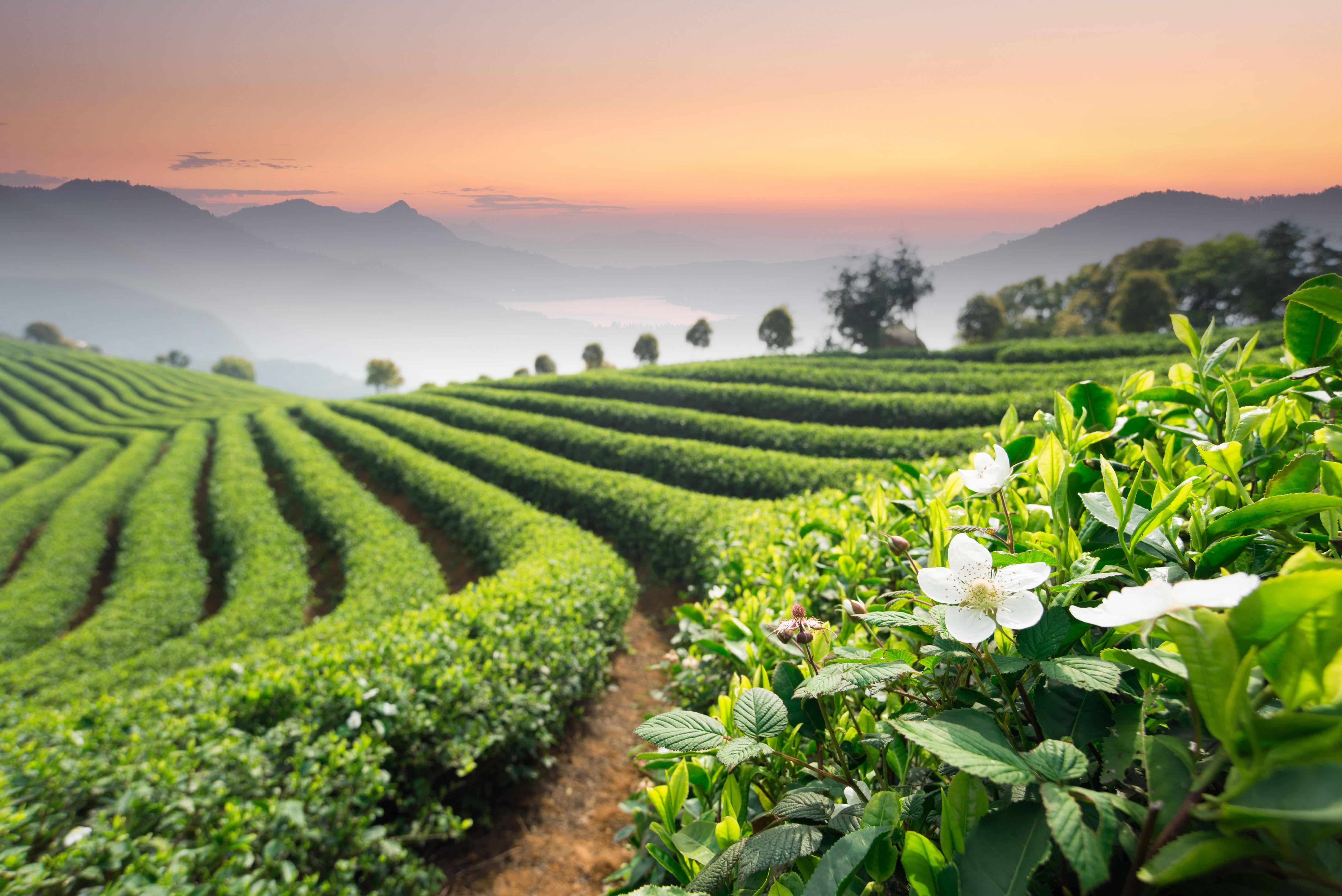 Longjing Tea Garden, Hangzhou. Hangzhou, Tea culture, Nature