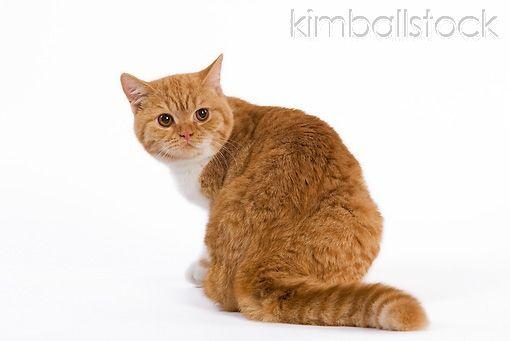 Orange Tabby British Shorthair Cat Cute Cats And Kittens Orange