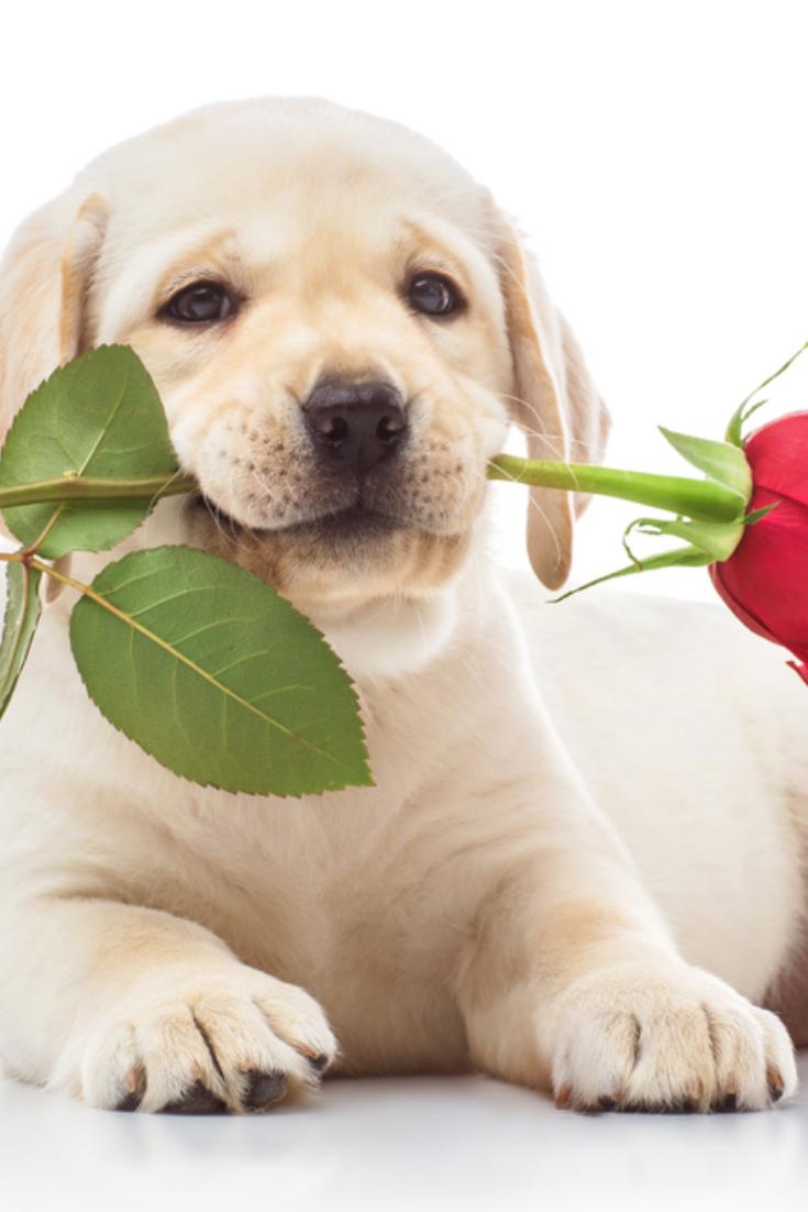 Labrador Puppy With Red Rose Labradorretriever Golden Retriever Labrador Labrador Retriever Labrador