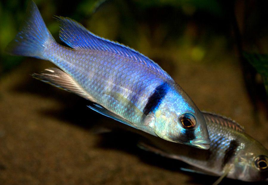 Placidochromis Elektra Likoma - dominant male & female