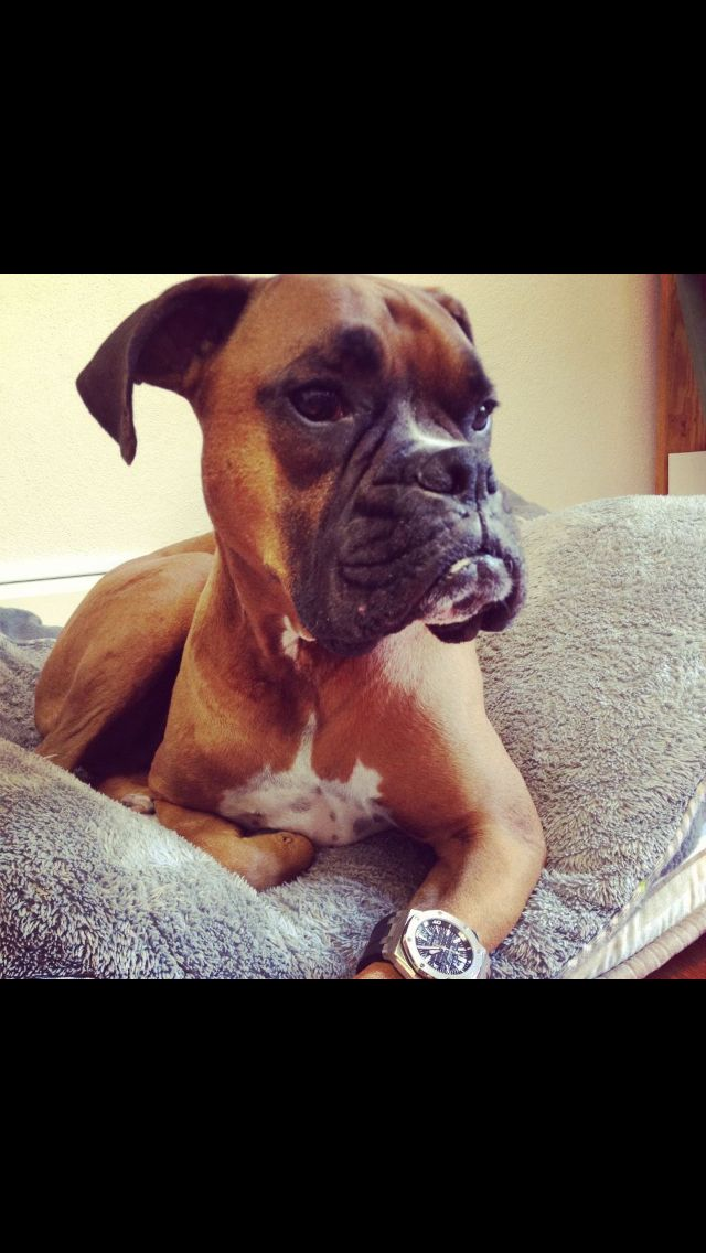 Sportin My New Watch Boxer Dogs Facts Boxer Love Boxer Dog Puppy
