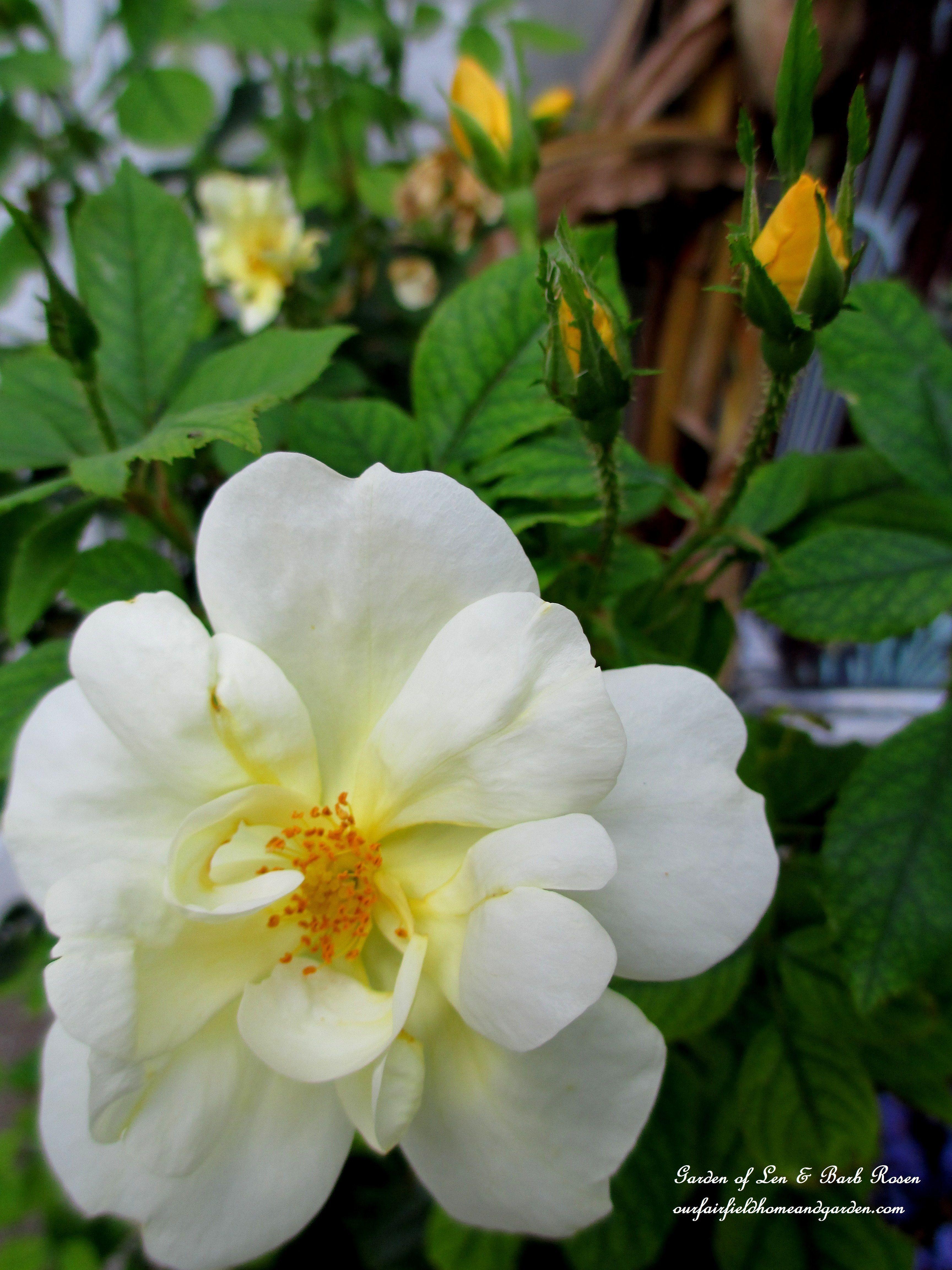 Yellow Knockout Rose (Garden of Len & Barb Rosen) #knockoutrosen Yellow Knockout Rose (Garden of Len & Barb Rosen) #knockoutrosen Yellow Knockout Rose (Garden of Len & Barb Rosen) #knockoutrosen Yellow Knockout Rose (Garden of Len & Barb Rosen) #knockoutrosen
