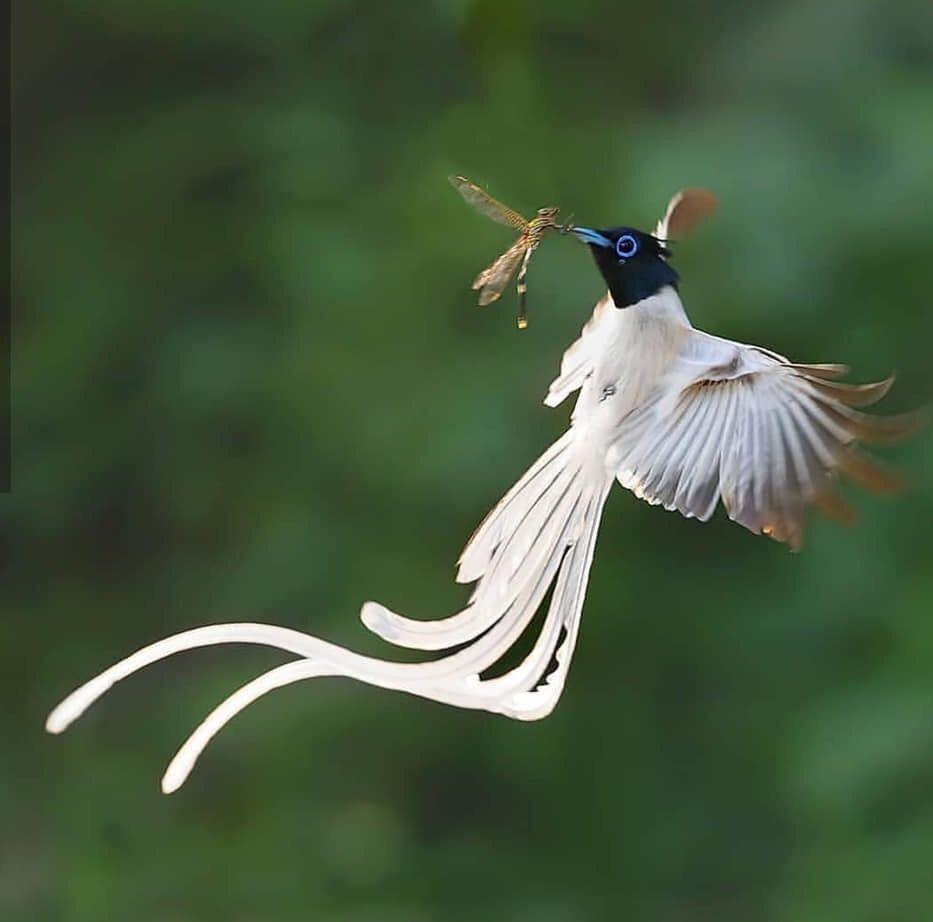 Paradise flycatcher | Birds, Bird pictures, Cute birds