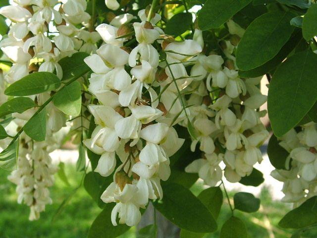 The Honey Merchant Flowers Acacia Tree Plants
