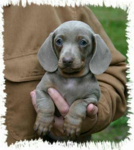 Cinnamon Grey Dachshund Puppy Miniature Dachshund Puppies