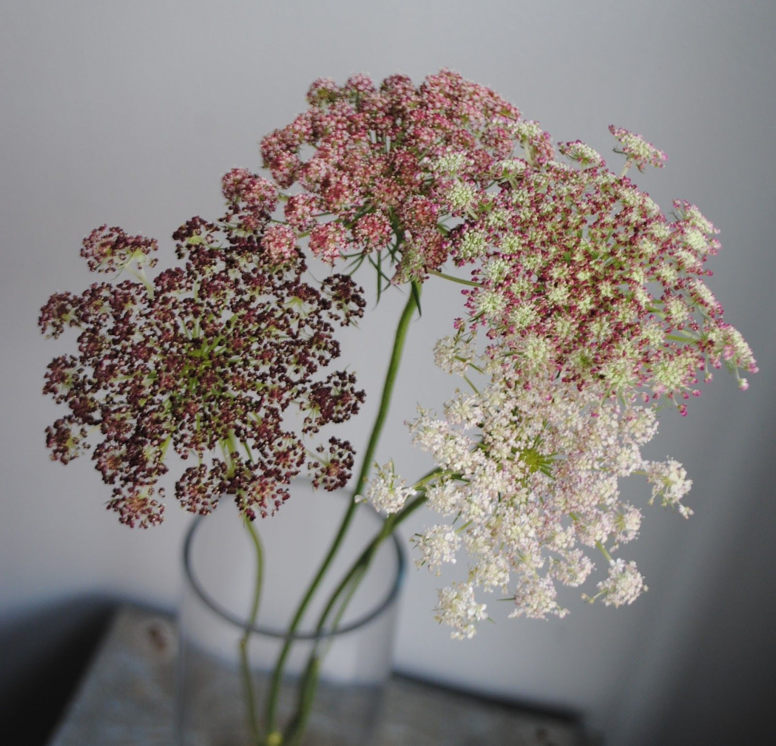 Daucus Carota Aka Queen Annes Lacebishops Lace Chocolate Lace