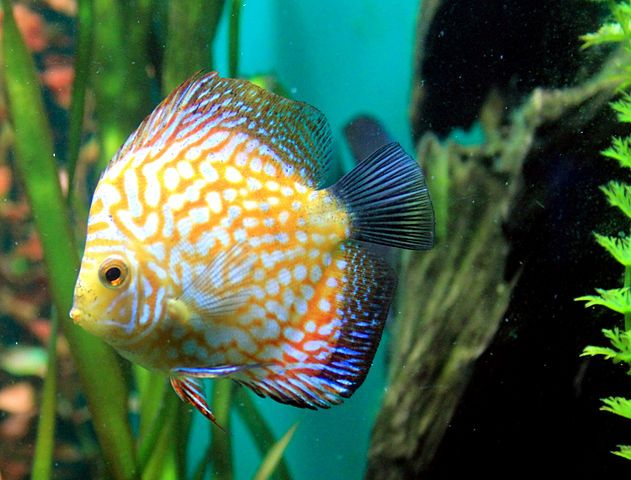 Useful tips for keeping your discus fish healthy discus for Keeping discus fish