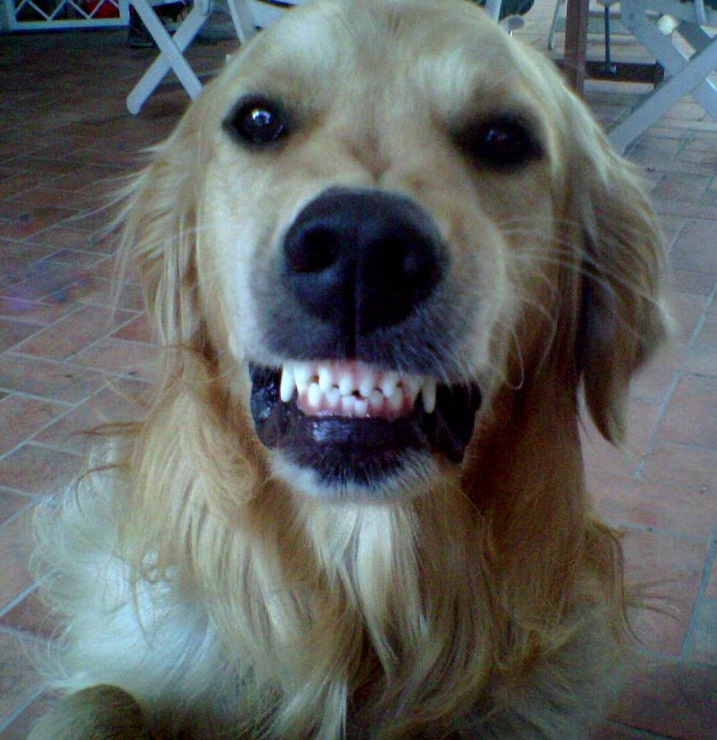 Pin by Ro Fe on My Dogs Golden retriever, Animals, Dogs