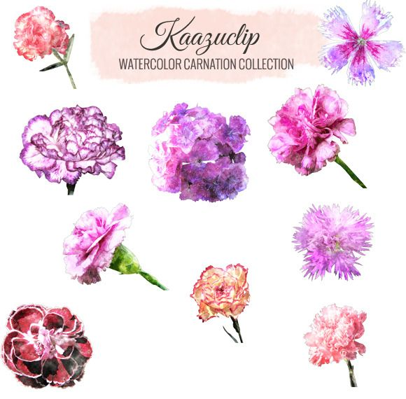 Check Out Watercolor Carnation Collection By Kaazuclip On Creative
