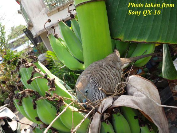 ไอเดีย บรรเจิดอีกแล้ว ... วันนี้ สดสดร้อนๆ กับความอยากที่จะได้ภาพนกที่ทำรังอยู่บนต้นกล้วย ... จะทำไงดี เพราะ monopod ที่มีก็ยาวแค่ 130cm + ความสูงของเรา อั๊ยยะ! ก็ ... อ้วน เตี้ย และล่ำลั้นลา ก็เลยต้องรีบจัดให้ได้ ไม่งั้นคงนอนไม่หลับ 555+