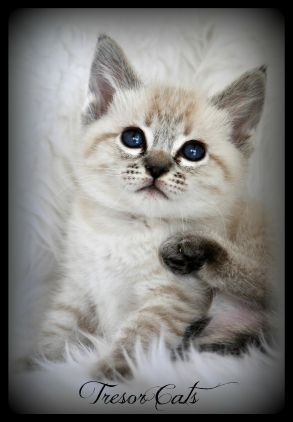 Traditional Siamese Kittens For Sale In California Applehead