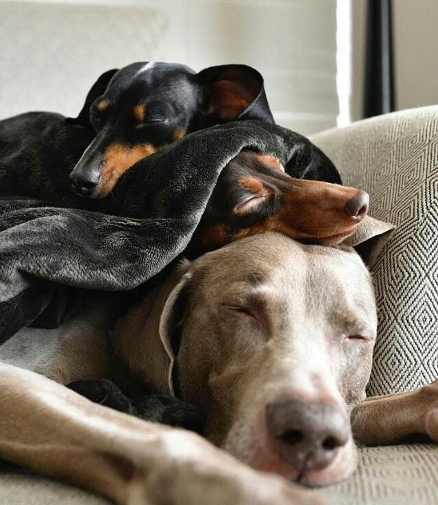 Pin By Madison Peterman On Dogs Dogs Weimaraner Puppies