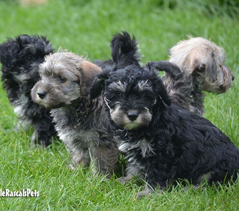 Schnoodle Puppies For Sale Schnoodle Puppies Schnoodle Puppies