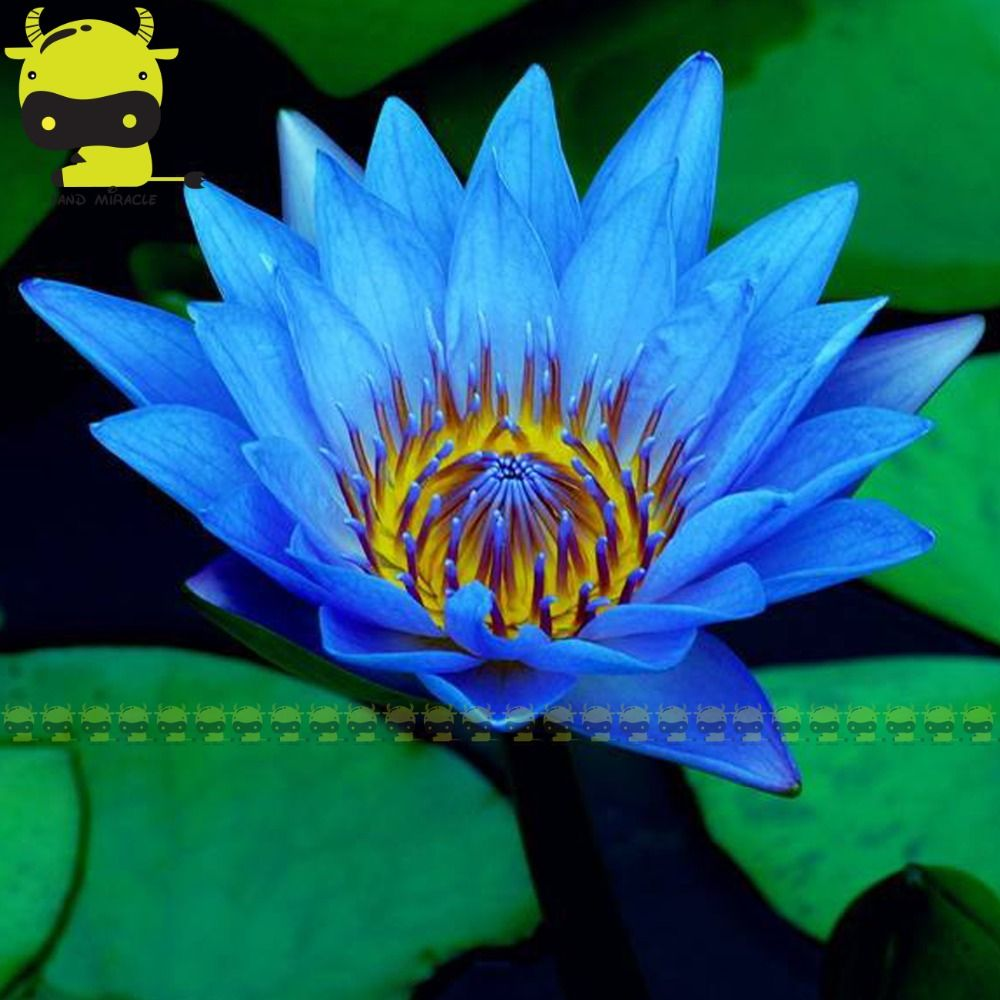 Egypt blue water lily seed 1 seedspack pond aquatic plants small egypt blue water lily seed 1 seedspack pond aquatic plants small lotus izmirmasajfo