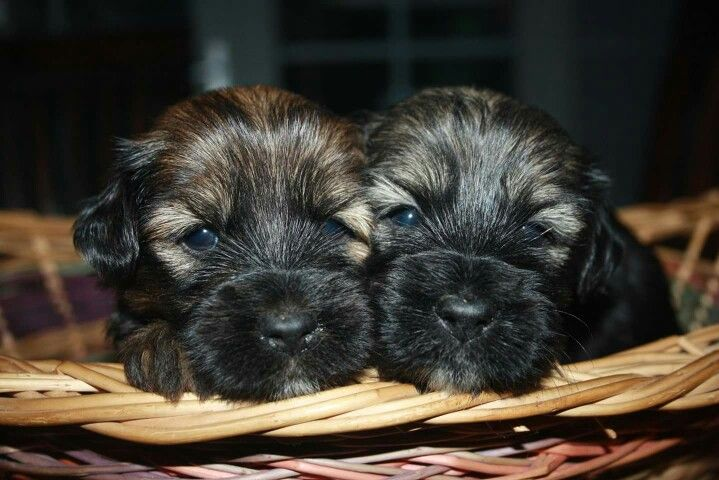 Tt Puppies Tibetan Terrier Puppies Terrier