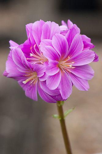 Lewisia cotyledon flowers flower and plants lewisia cotyledon beautiful flowers gardenamazing flowerspretty flowersindoor mightylinksfo