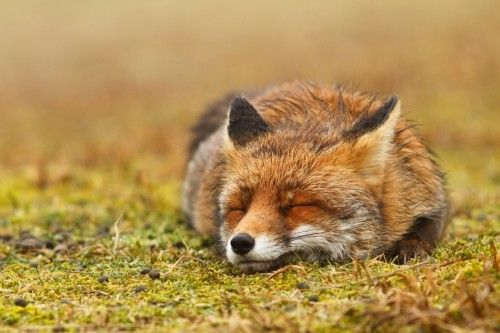 Red fox, probably dreaming of uncount... by Roeselien Raimond