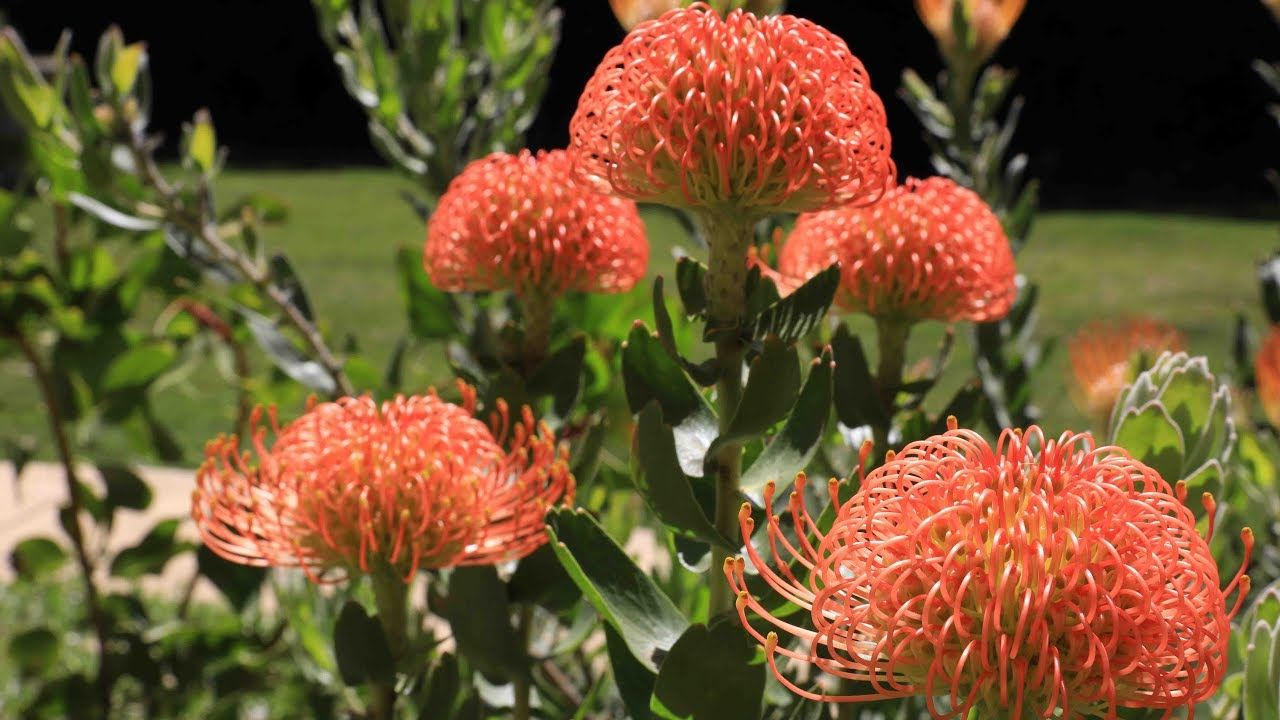 Protea Plant Garden Update 20 Months Later Protea Leucospermum Leucadendron And Mimetes Youtube Protea Plant Protea Flower Plants