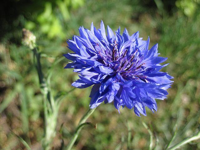 Cornflower Hoa