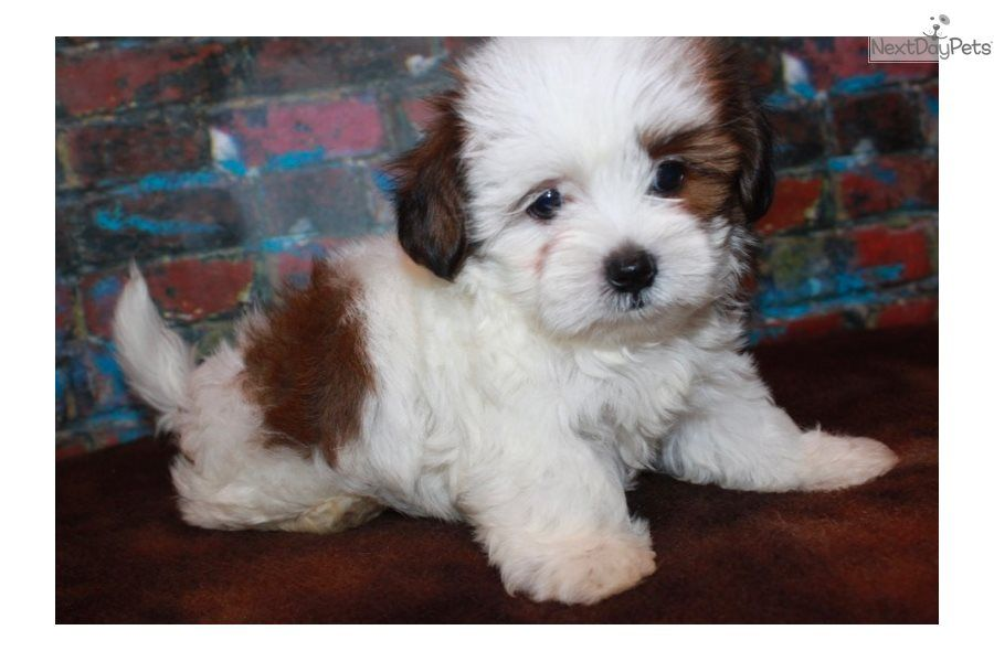 I Am A Cute Shorkie Puppy Looking For A Home On Nextdaypets Com Shorkie Puppies Shorkie Puppies For Sale Puppies