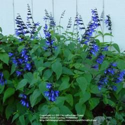 Black And Blue Salvia Grows To About 3 Tall Salvia Plants