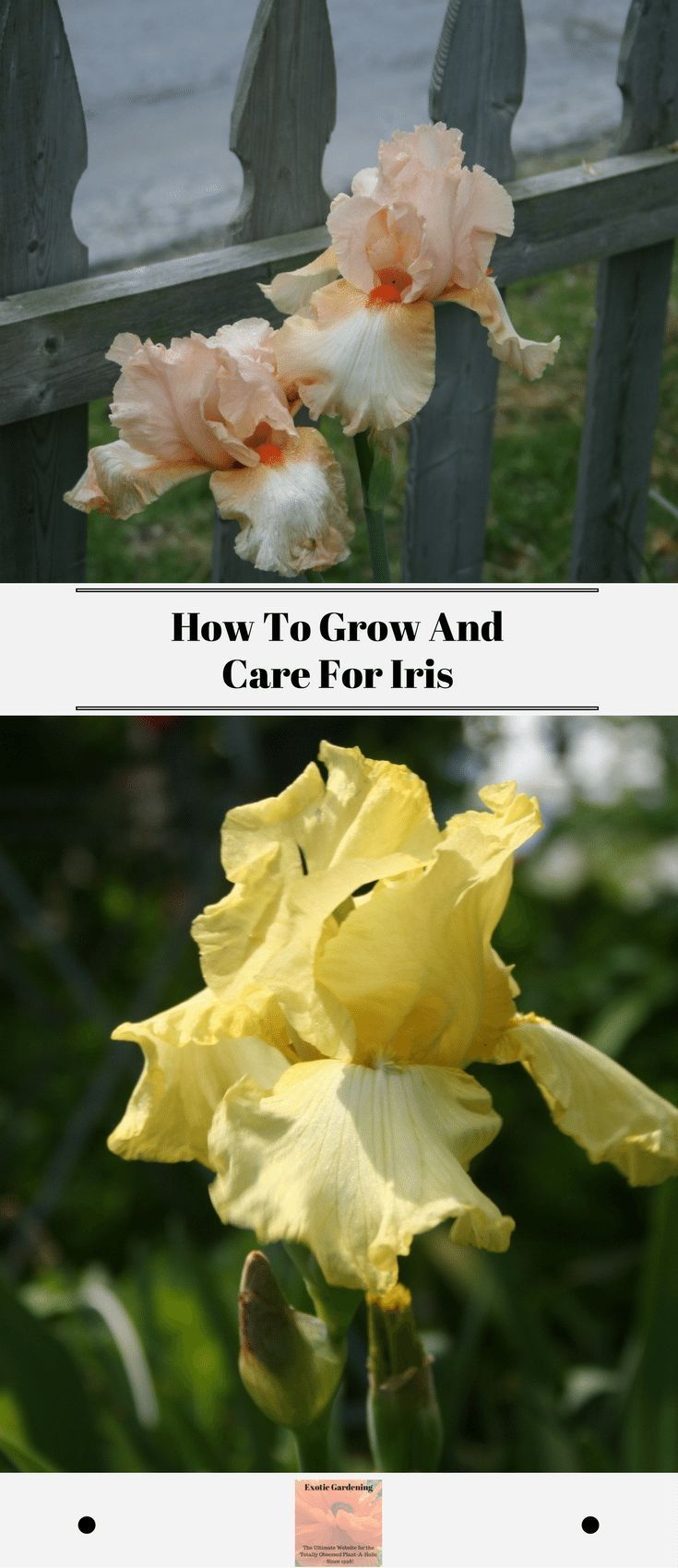 Many people love to grow iris in the flower beds but might not know a lot about iris care. Learn how to plant to how to care for your iris. #growiris #iriscare #flowers #perennialplants #plantmaintenace