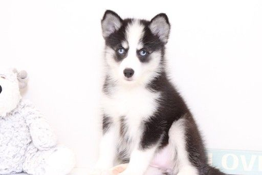 Siberian Husky Puppy For Sale In Naples Fl Adn 30066 On
