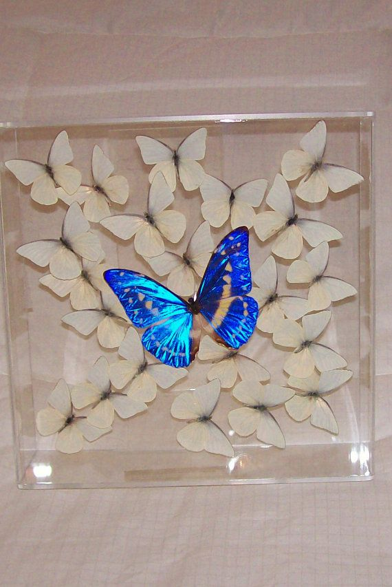 Real Gorgeous Rare and Very Seldom Offered Morpho Butterfly Among Snow White Butterflies