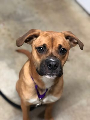Jersey City, NJ Boxer. Meet Joe Pesci a Pet for Adoption