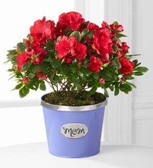 Thank you Mom Mother's Day Azalea - 6.5-inch  http://www.stragierssunbrightflowers.com/product/thank-you-mom-mothers-day-azalea-6-5-inch/display