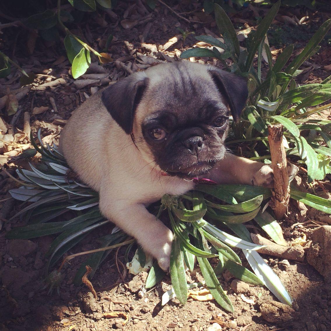 Coco Chanel French Bulldog Pugs Animals