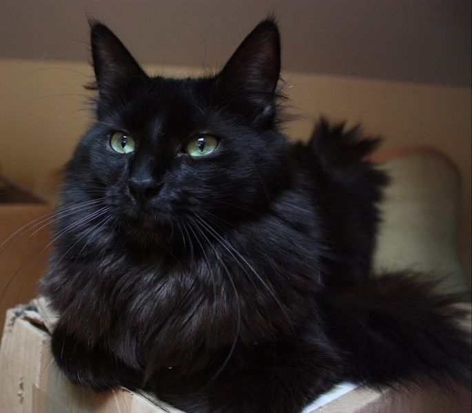 photo chat angora noir et blanc - Angora turc — Wikipédia