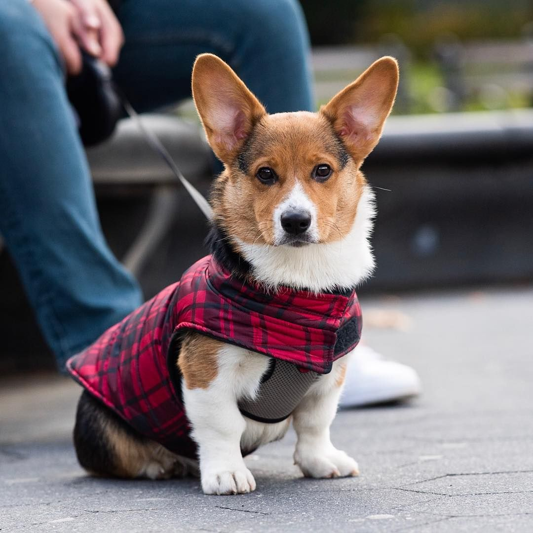 The Dogist On Instagram Hudson Pembroke Welsh Corgi 4 M O