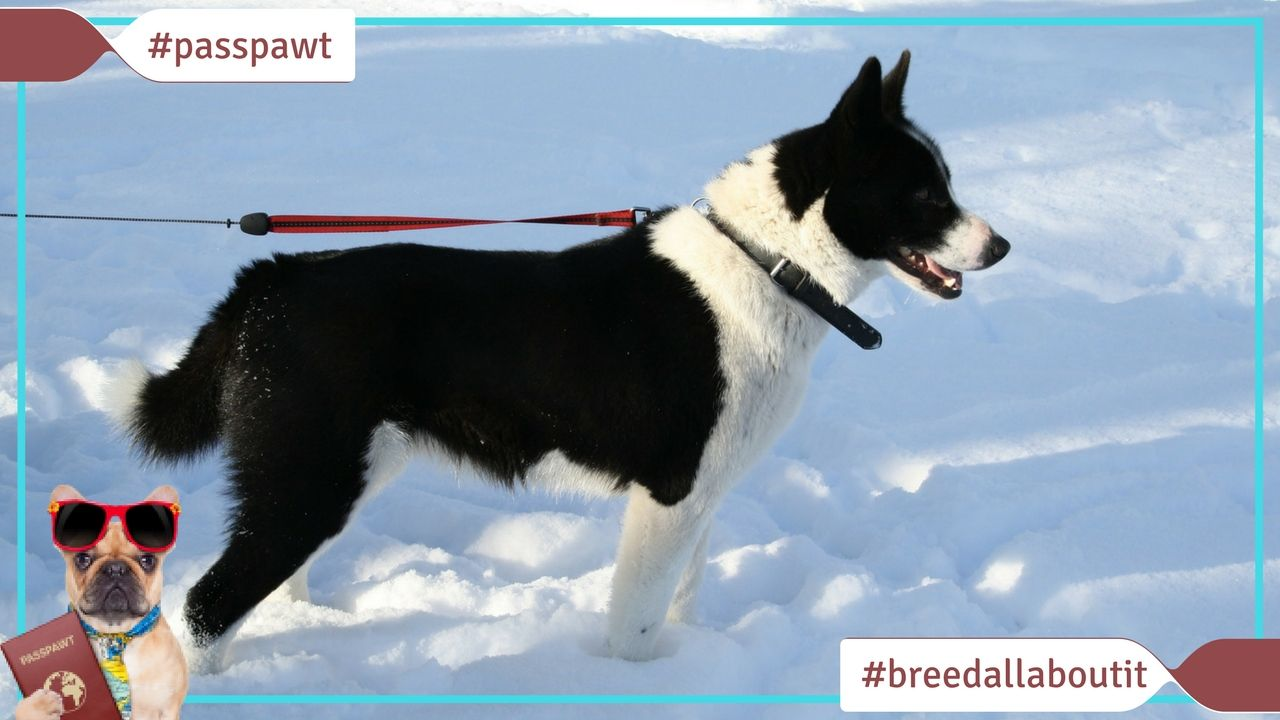 Breed All About It Dog Breeds Starting With K Karelian Bear