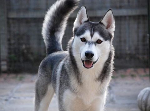 Siberian Husky In Thumbnail Image On Listing Pages Miska Owned