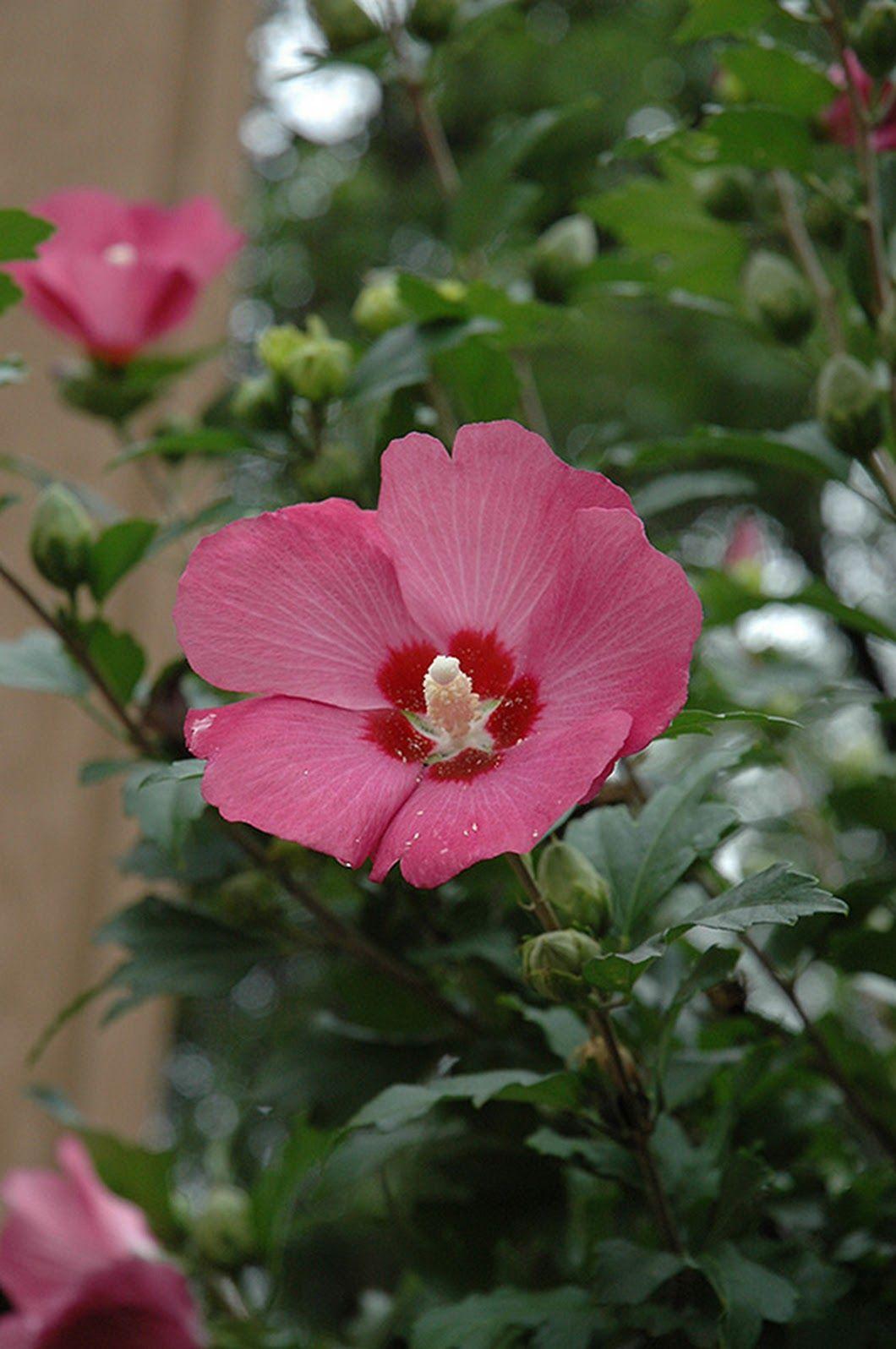 Rose of Sharon Korean National Flower Scientific Name