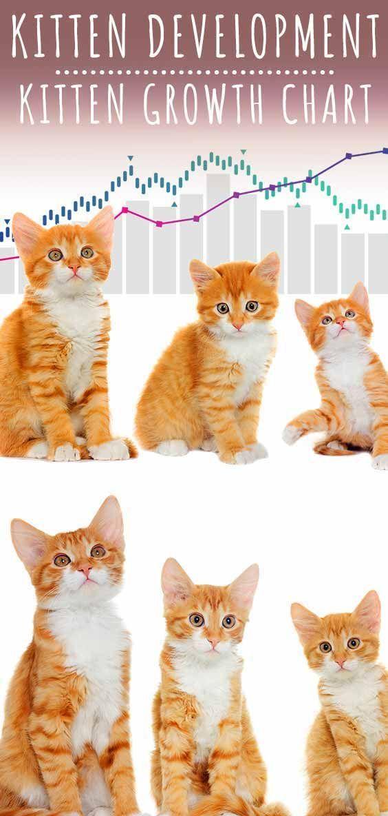 Kitten Development In 2020 Kitten Growth Chart Happy Cat Kitten