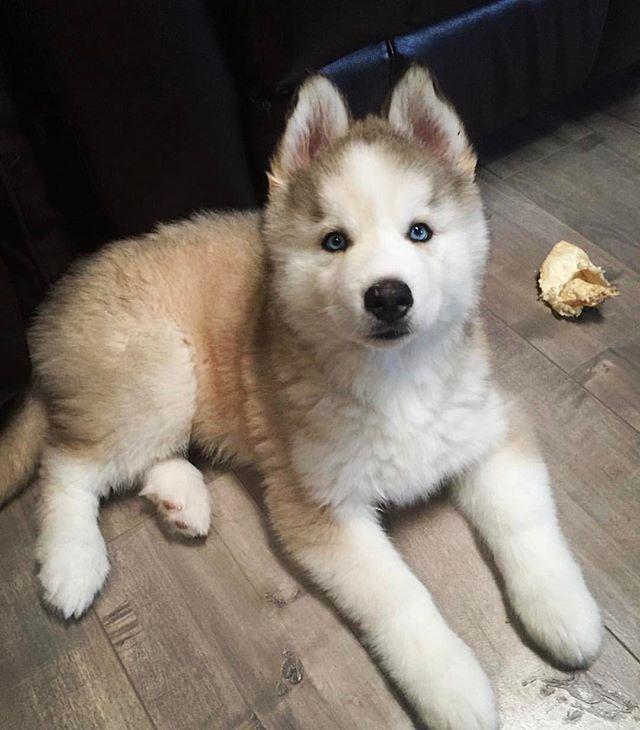 Pin On Siberian Huskies My True Passion
