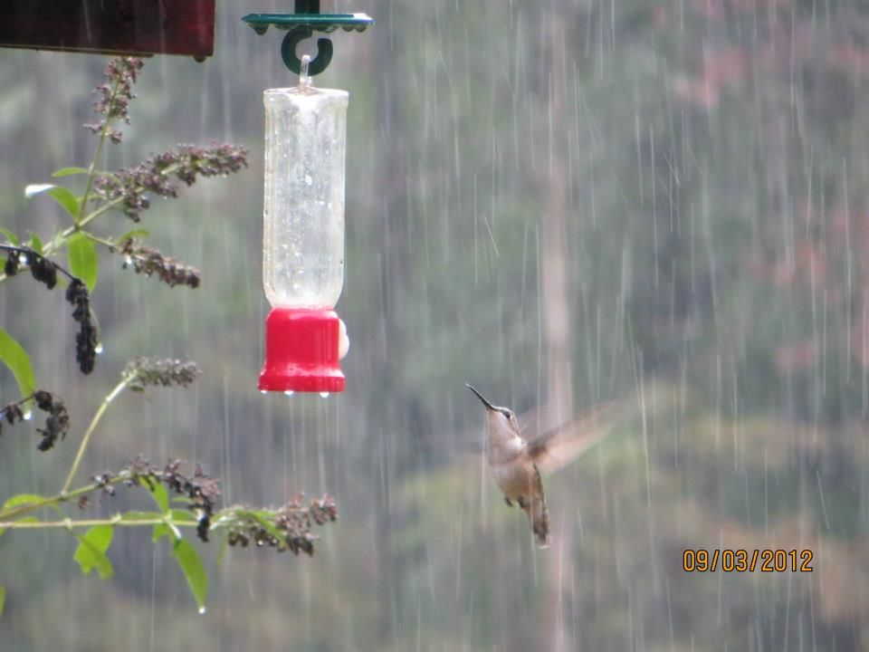 Rainy Hummingbird Backyard Birds Bird Pictures Outdoor Decor
