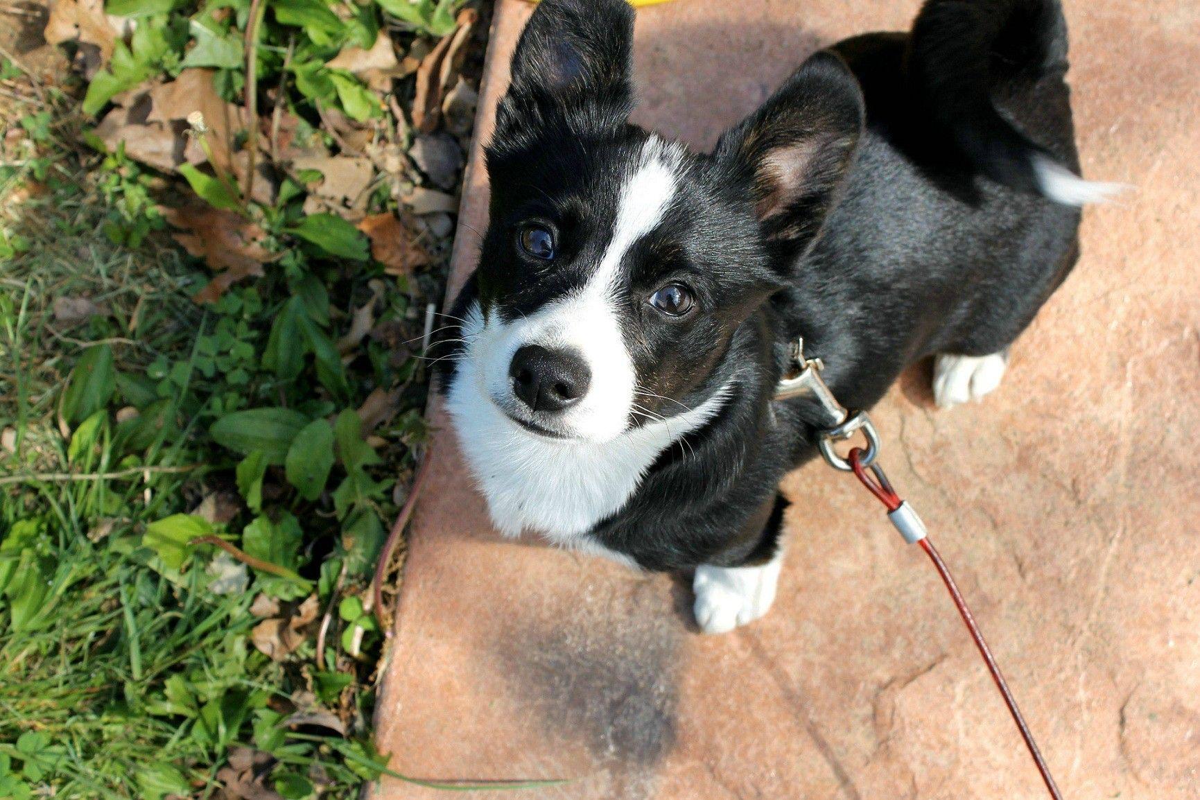 Pin By Blackbird Design Studio On Woof Woof Corgi Terrier Mix Terrier Mix Breeds Terrier