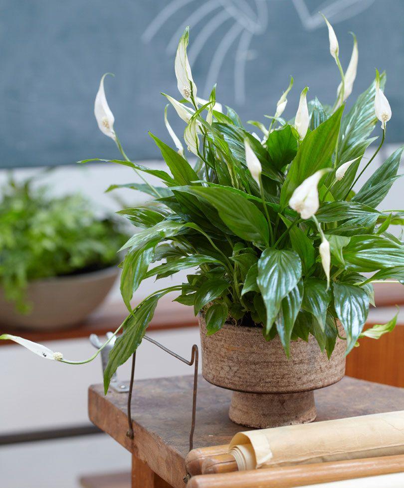 Air Freshening Plant Peace Lily Sweet Silvio Plants 400 x 300