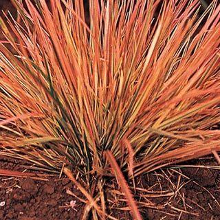 Northern Lights Ornamental Grass Ornamental Grasses Grasses Landscaping Grasses Garden