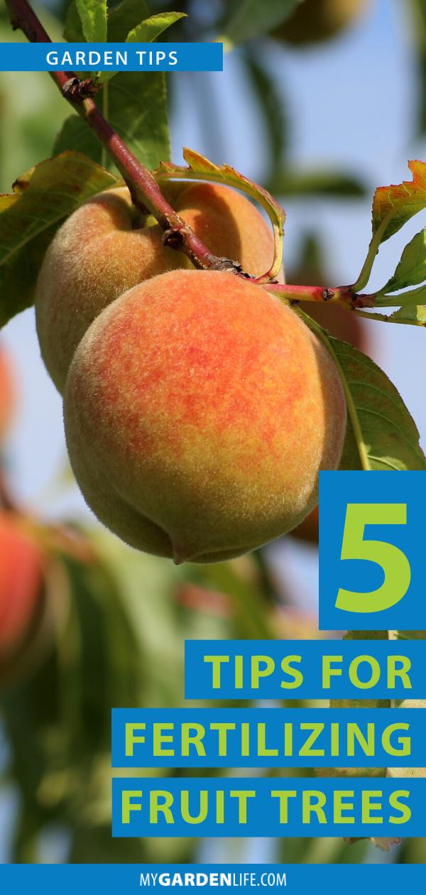 5 Tips For Fertilizing Fruit Trees My Garden Life Fertilizing Fruit Trees Fruit Trees Peach Tree Care